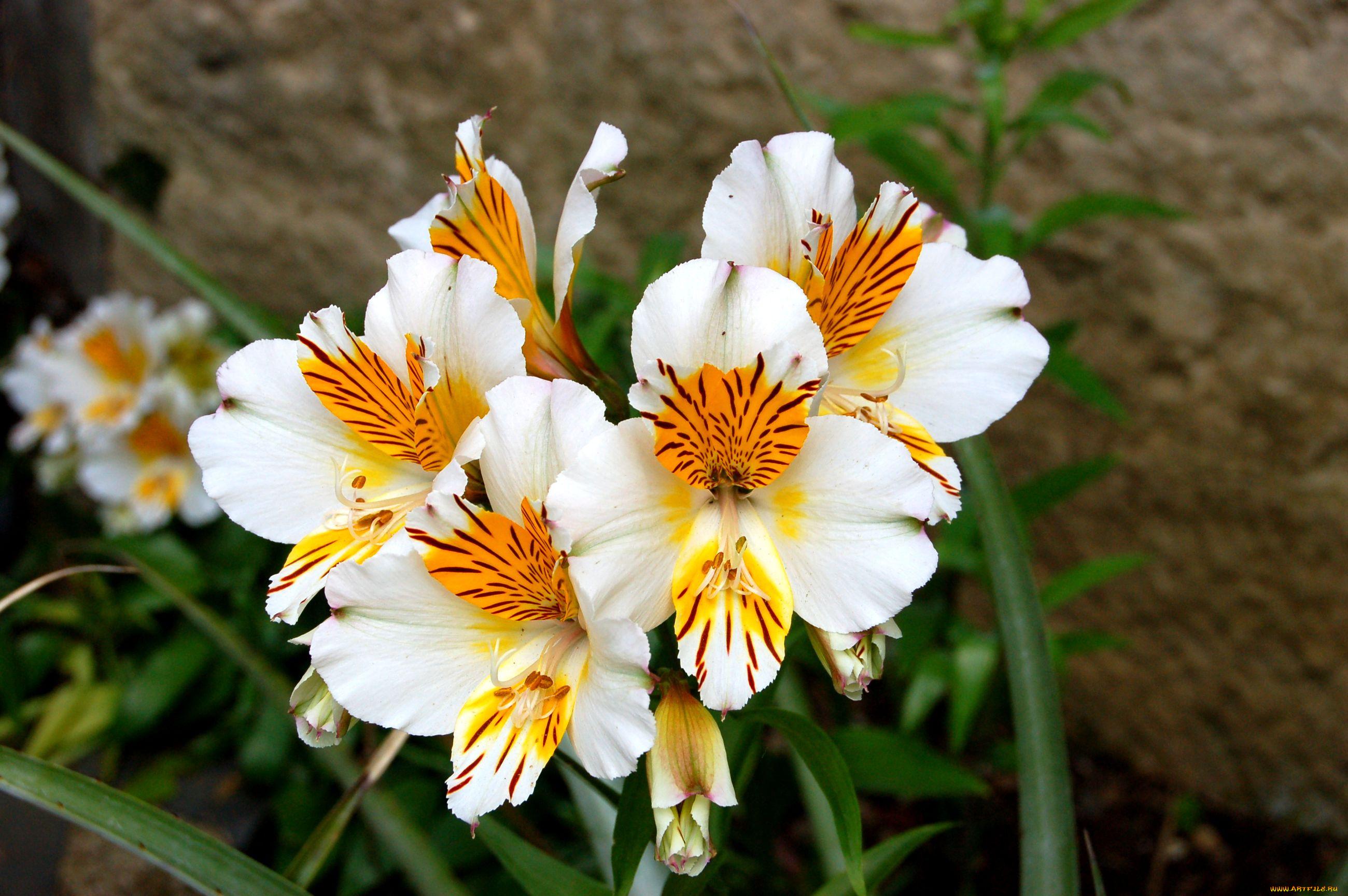 Цветы похожие на лилии фото и названия